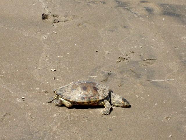 Lake Nica tortoise