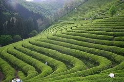 Green-tea grown in fertile land (somewhere in Asia)