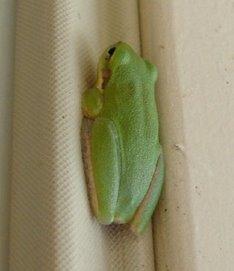 el froggy