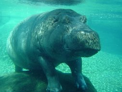 Hippo from the San Diego Zoo!