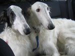 the dogs (borzoi)