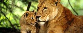 Kenya's Lions