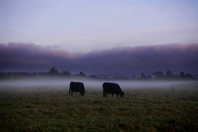 cows in the mist #1