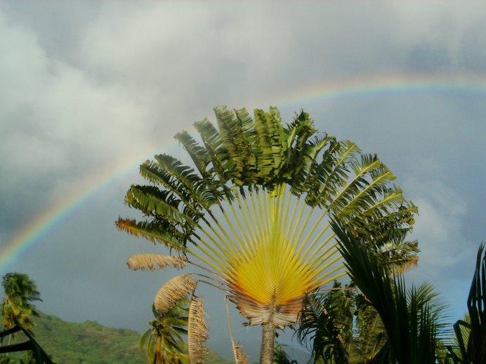 El arbol del viajero, simbolo polinésio por exceléncia,coronado por un arcoiris perfecto.