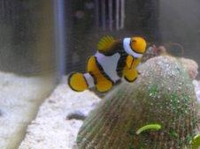 "the rare ""clown catfish"""