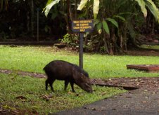 White-collared peccary
