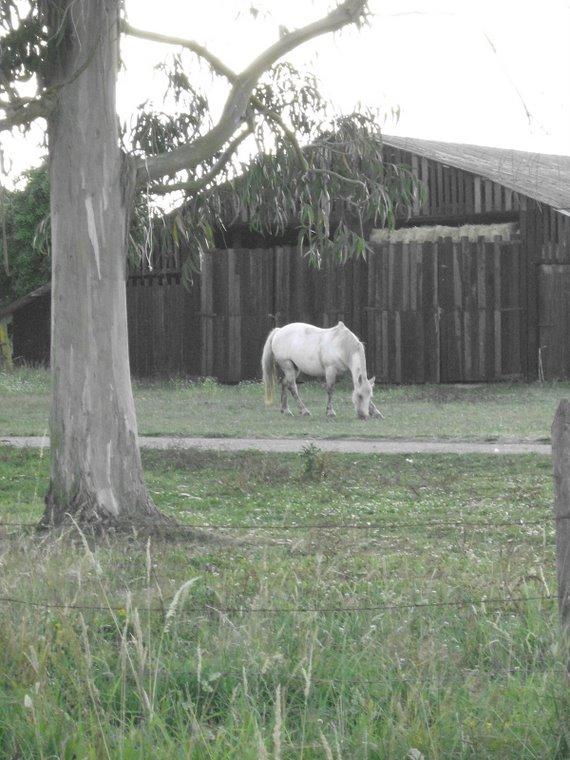 Mi yegua Percheron Niebla