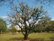 Velhas árvores do Cerrado