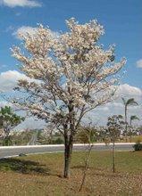 Jovens árvores do Cerrado