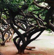 Ficus sp. Praca SQS 308