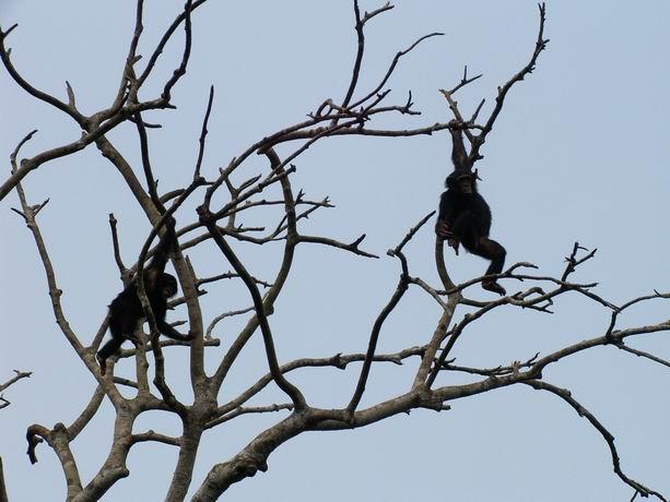 Babies chimpanzés