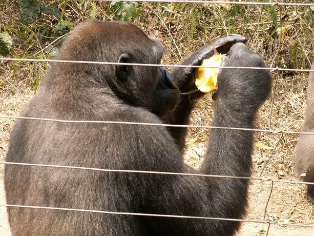 Les gorilles dans leur enclos