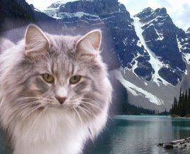 Salinos Norwegische Waldkatzen
