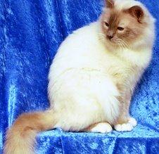 Vader (dekkater) van kittens van Naiobie
