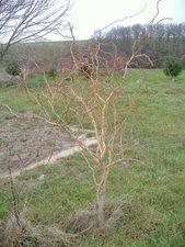 saule tortueux (arbuste)
