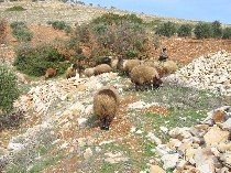 Sheep near RAJO in Kurd-Dagh