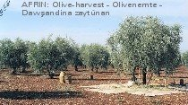 Olive-Harvest in Kurd-Dagh