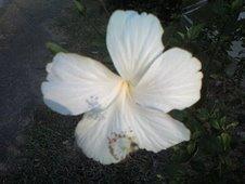 Hibiscus from Bukit Tinggi, Malaysia