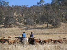 cattle are still driven to/from their winter & summer pastures by men and women on horseback
