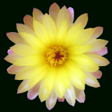 Alguna parodia tiene esta flor