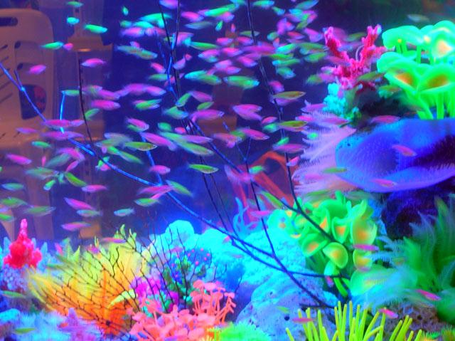 Tetra Fish Not Swimming Neon Tetra Fish Not Swimming