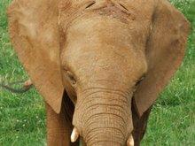 Of course: Elefantes, Por N. de Ockahm