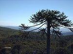 Araucaria árbol Provincial Neuquino