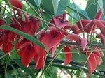 El Ceibo, la flor nacional.