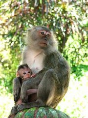 Monkeys at Borneo island
