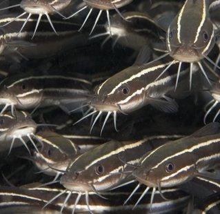 Pinoy negosyo techs hito catfish raising for Koi pond quezon city
