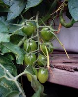 Green Roma tomatoes