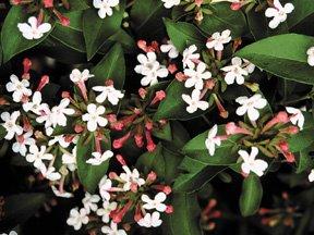 The Plant Hunter Abelia Mosanensis Fragrant Abelia