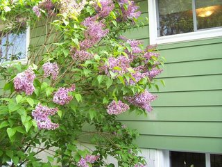 Lilacs in bloom in our back garden