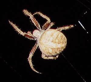 Bruce S Log Barn Spider Araneus Cavaticus