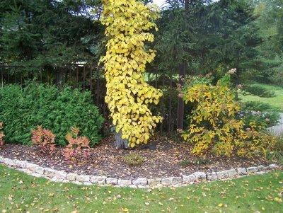 hortensja pnąca (hydrangea petiolaris - STUS Szkółka Krzewów Ozdobnych