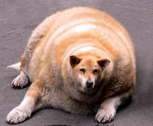 Fattest dogs in the world