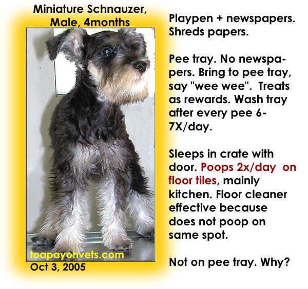 105 Miniature Schnauzer Trayed
