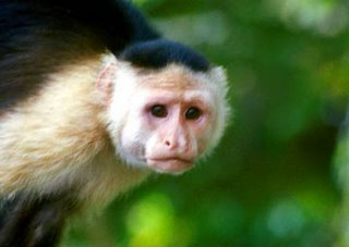 This is a Capuchin Monkey. Capuchin monkey's live in trees from the looks  of this picture. They enjoy a diet of various fruits ...