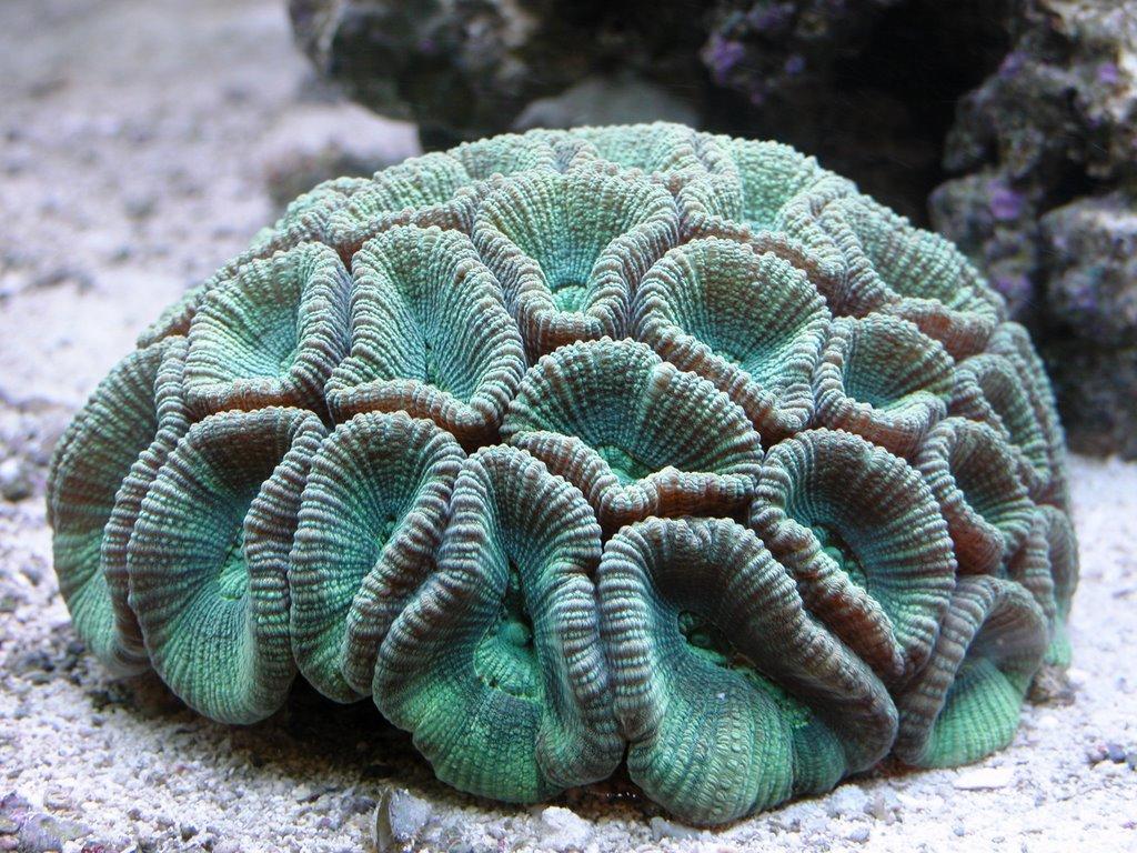 Sierra Saltwater Systems, Inc.: Favites: Moon Coral (WYSIWYG)