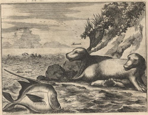 1671 stylised engraving of sunning manatee on shore + sideview of fish in the air