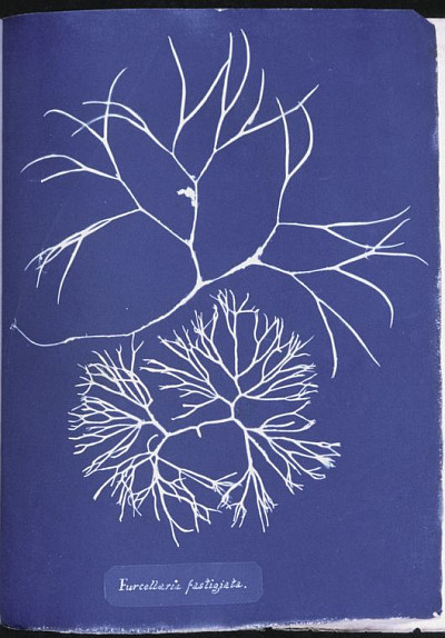 Bibliodyssey The Cyanotype Work Of Anna Atkins