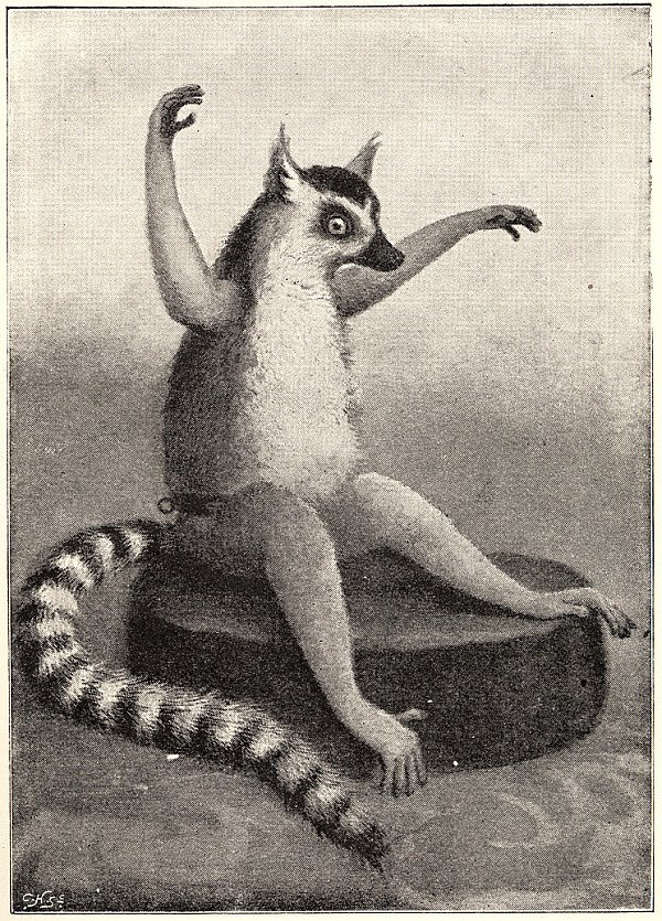 b&w illustration of ring-tailed lemur in anthropomorphic pose by Brightwen
