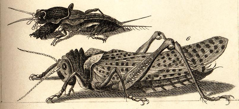 engraving of grasshoppers