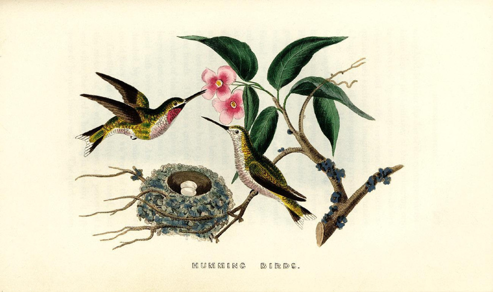 coloured illustration of hummingbirds and nest