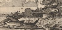 cropped engraving of flying fish in the Americas