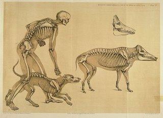 BibliOdyssey: Comparative Mammalian Anatomy