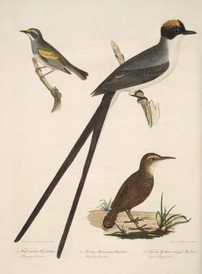 Fork-Tailed Flycatcher, Rocky Mountain Antcatcher, Female Golden-Winged Warbler