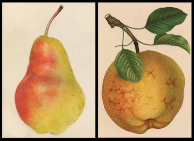 Willard and Idaho pears from sometime around 1900