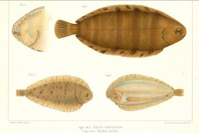 three small sole species