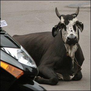 Lehmä lepää autotiellä Intiassa